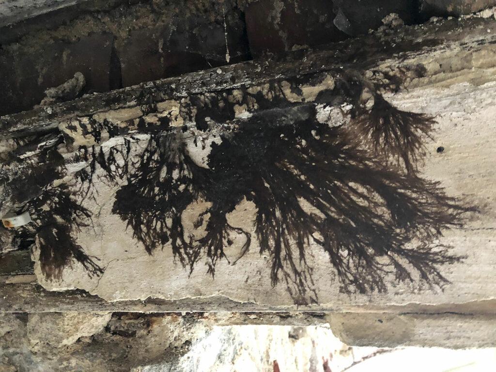 Myzel des Kellerschwamms